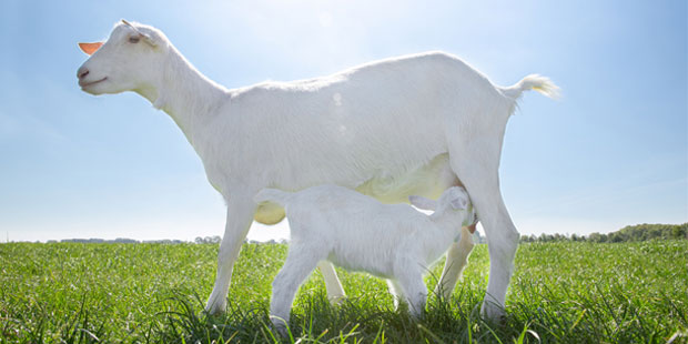 Learn More about Goat Milk